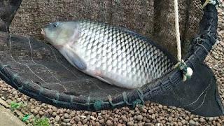 Umpan Mancing Ikan Mas Babon