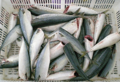 Frozen Pacific Mackerel HG Product Meanings