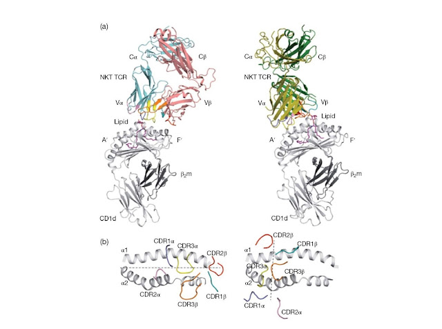 Structural comparison between type I and type II NKT TCR–lipid–CD1d complexe