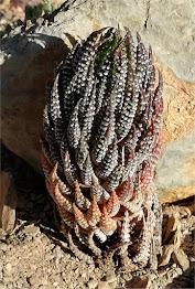 Haworthiopsis brevicula - Kap River DMC 8226