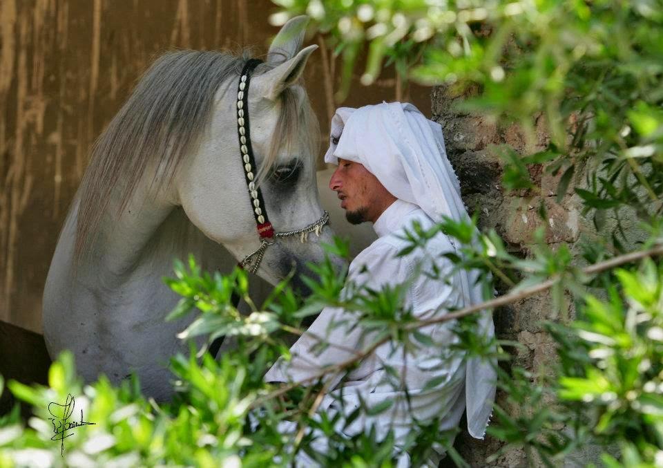 افضل 6 صفات للخيول العربيه الاصيله