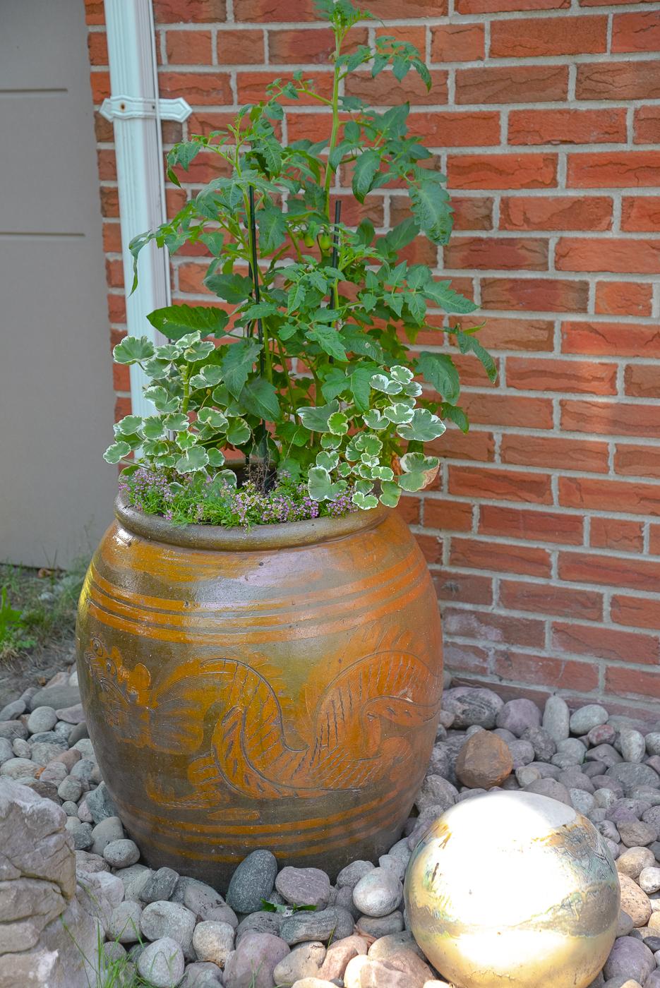tomato plant in planter, tomato plant and geraniums, tomato plant urn