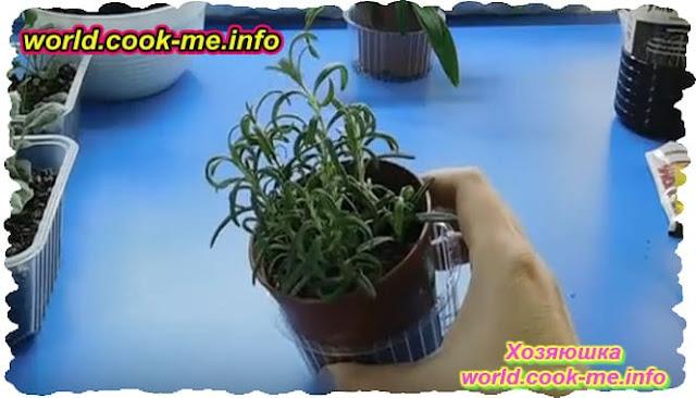 выращивание розмарина на подоконнике