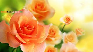 Orange Rose for rose day