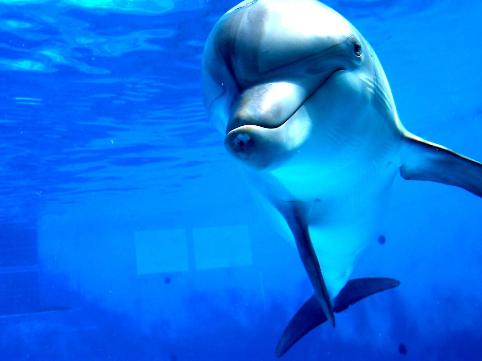 Dolphin | The Biggest Animals Kingdom