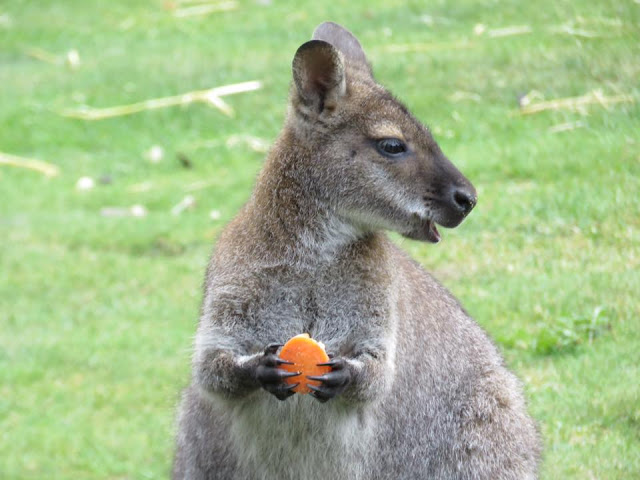 Wallaby eating carrot