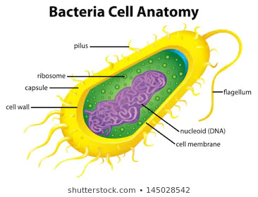Bacteria: Definition, Structure, Types, Shapes And Economic Importance