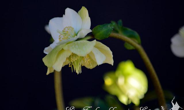Helleborus im Garten