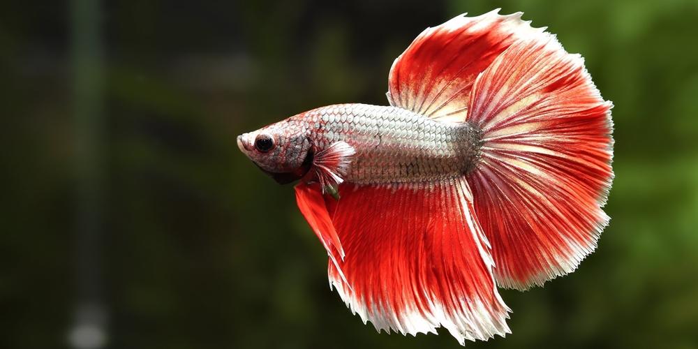 Ikan Cupang Spesies Betta Splendens