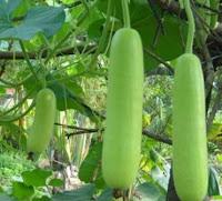 manfaat labu air, labu air ruma f1, benih cap panah merah, cara menanam labu air, jual benih, toko pertanian, toko online, lmga agro