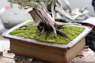 moss for bonsai