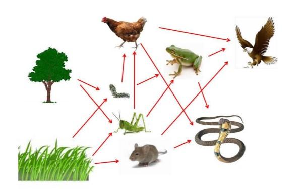 Sekumpulan rantai makanan yang saling berhubungan disebut