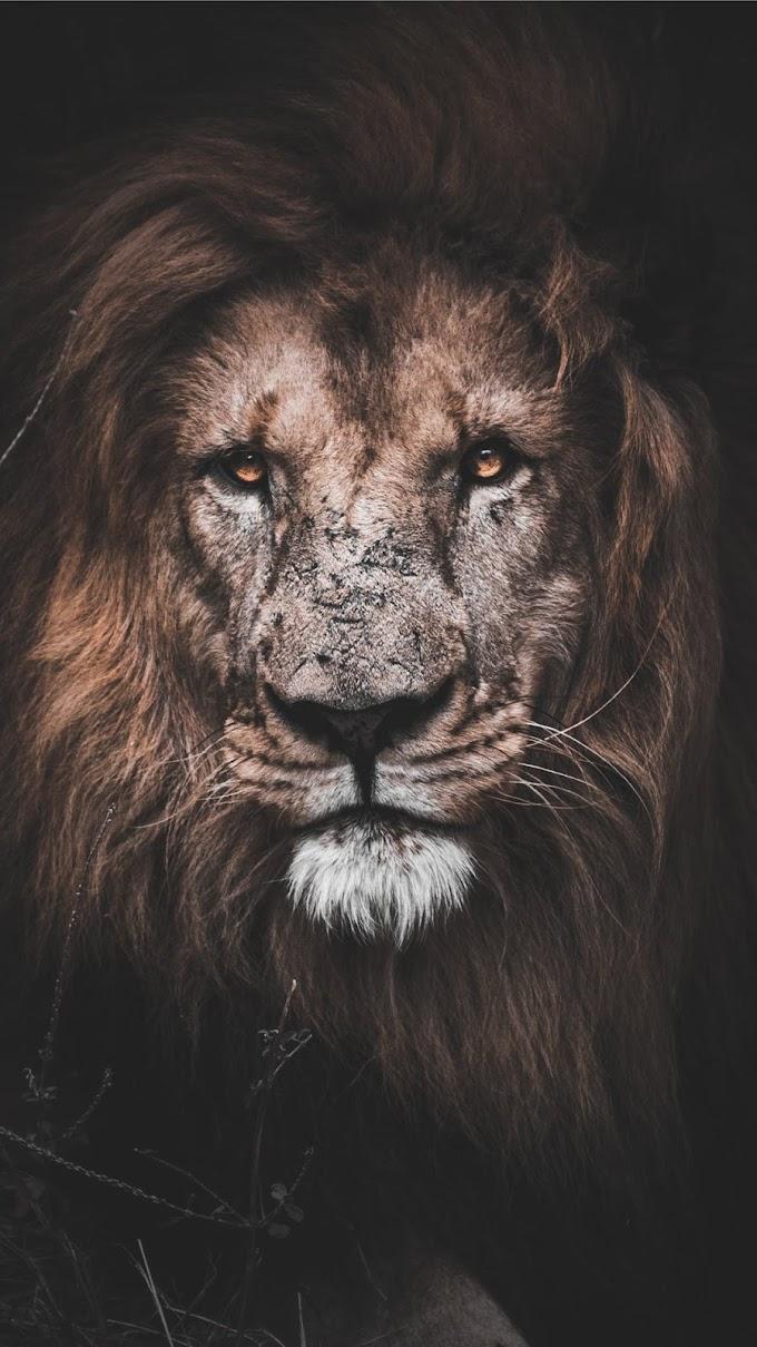 Papel de Parede Leão para Celular