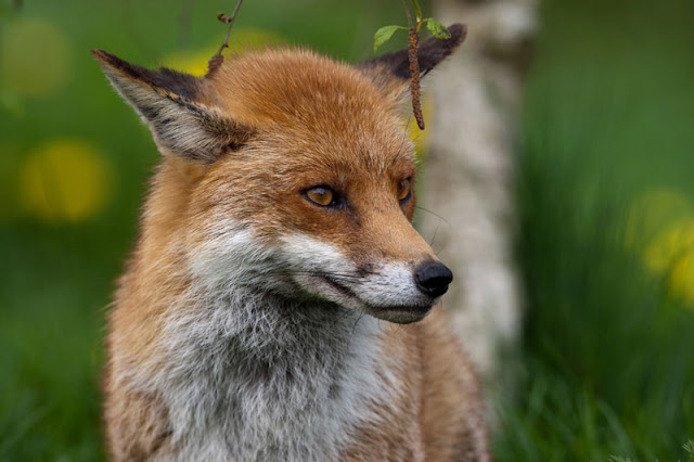A red fox in the English countryside