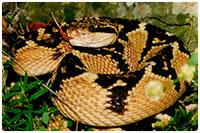 Surucucu pico de jaca (Lachesis muta)