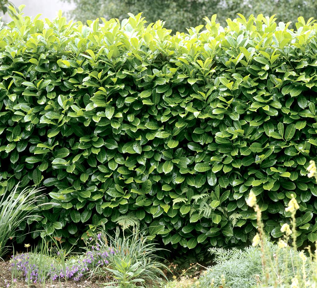 Laurier rose maladie maladie du laurier rose en photo - Quand tailler les arbustes ...