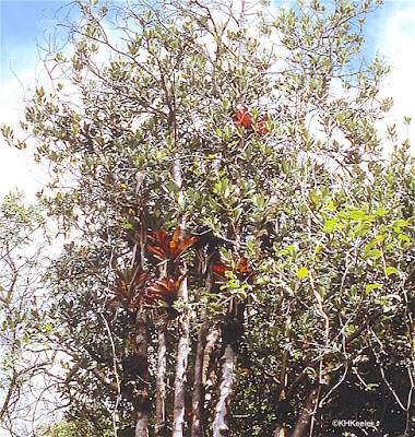 red bromeliad in tree