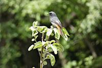 Kopciuszek samiec ptak