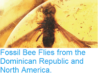 http://sciencythoughts.blogspot.co.uk/2015/11/fossil-bee-flies-from-dominican.html