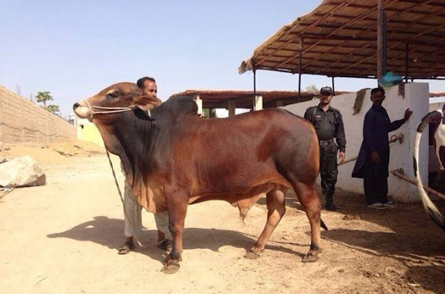 Sapi Red Shindhi