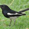Cara Mengatur Birahi Burung Kacer Supaya Selalu Siap Di Lombakan