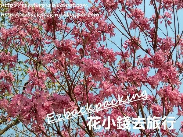 紫花風鈴木開花2021