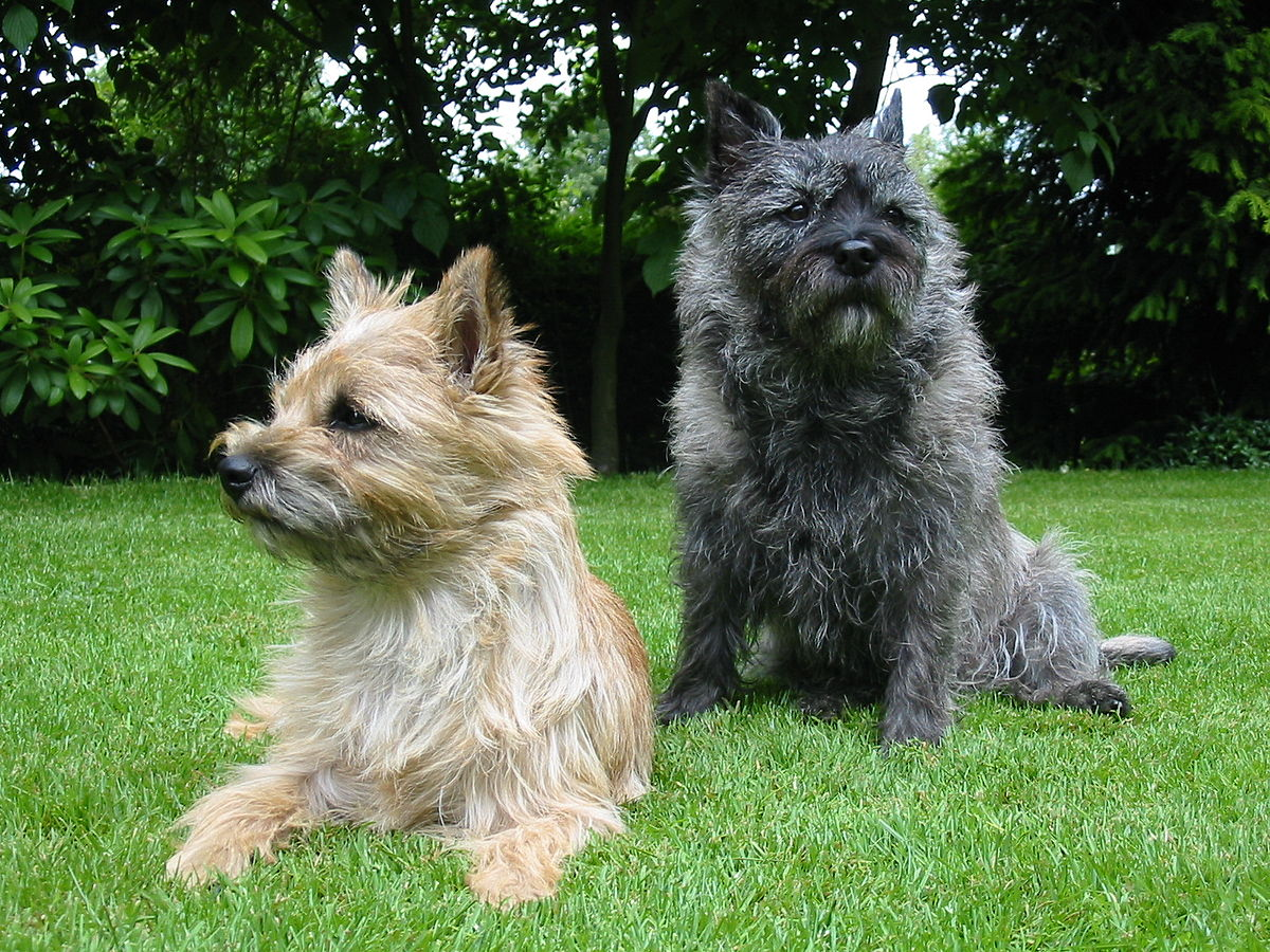 Cairn-Terrier-dog
