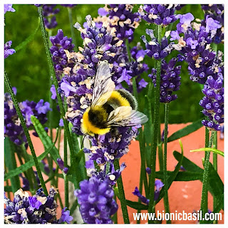 More Bees @BionicBasil® The Pet Parade