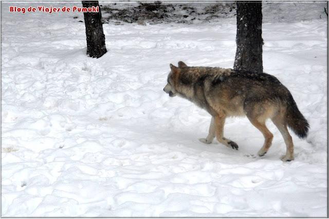 En el parque de Animales de Naturlandia en Andorra se pueden ver lobos entre otras muchas especies.