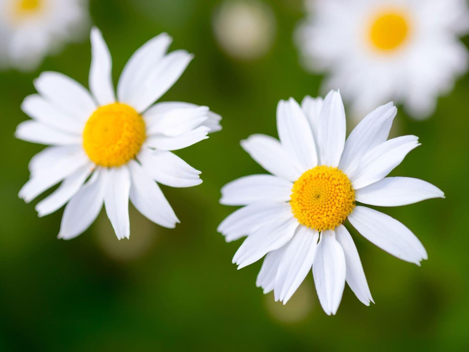 papatya çiçeği bakım önerileri