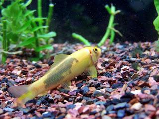 Ikan pembersih Aquascape