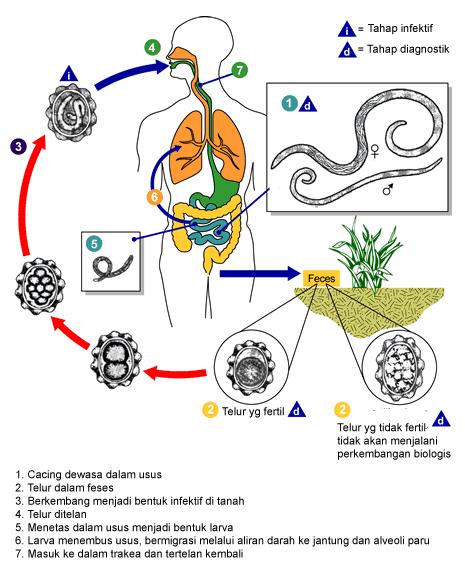 Daur Hidup Cacing Pita : hidup, cacing, Siklus, Hidup, Ascaris, Lumbricoides
