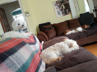 Image: Dexter, my 10 year old bichon - Denny, my 7 year old blonde bichon/poodle - Harvey, beagle/hound