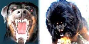 MOST DANGEROUS Dogs On Earth | top 10 most dangerous dogs,