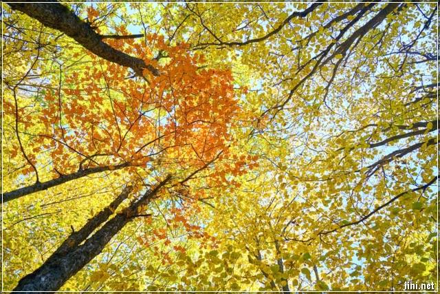 ảnh cây lá vàng mùa thu đẹp