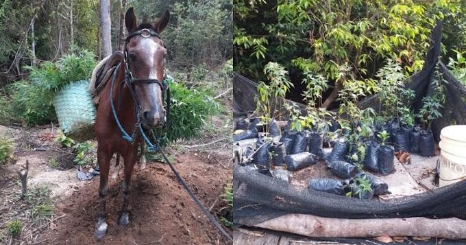 Plantação de Maconha é encontrada pela Polícia Civil na zona rural de Novo Progresso