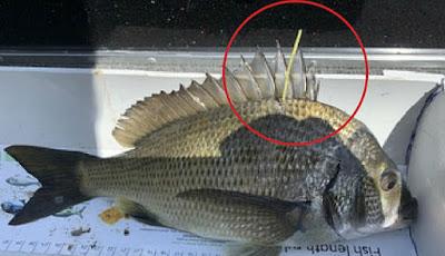 Ikan dengan label emas yang berharga