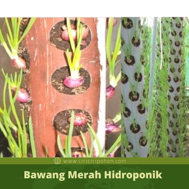 Ciri Ciri Pohon Bawang Merah Hidroponik