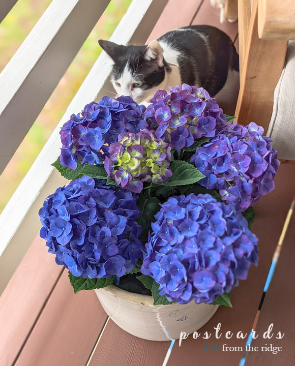 kitty smelling blue hydrangeas in vintage stoneware crock