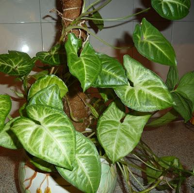 окраска листьев синониума