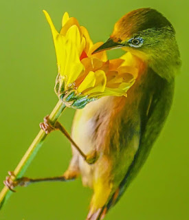 Kolibri, Burung Penghisap Madu yang Terancam Punah