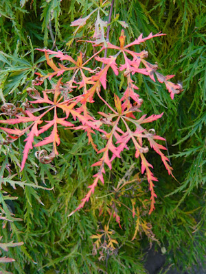 Acer palmatum var. dissectum Waterfall  Japanese maple foliage by garden muses-not another Toronto gardening blog
