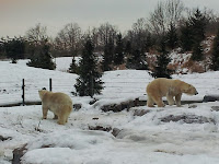 polar bears, Toronto Zoo, winter, snow, animals, animal photography, Canada