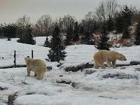 polar bears, Toronto Zoo, winter, snow, animals, animal photography, Canada
