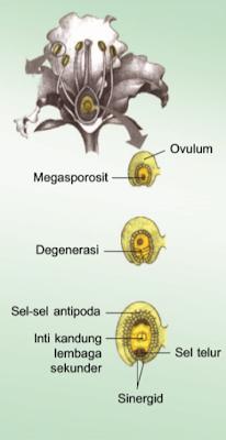 Proses Megasporogenesis pada Angiospermae