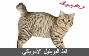 قط البوبتيل الأمريكي