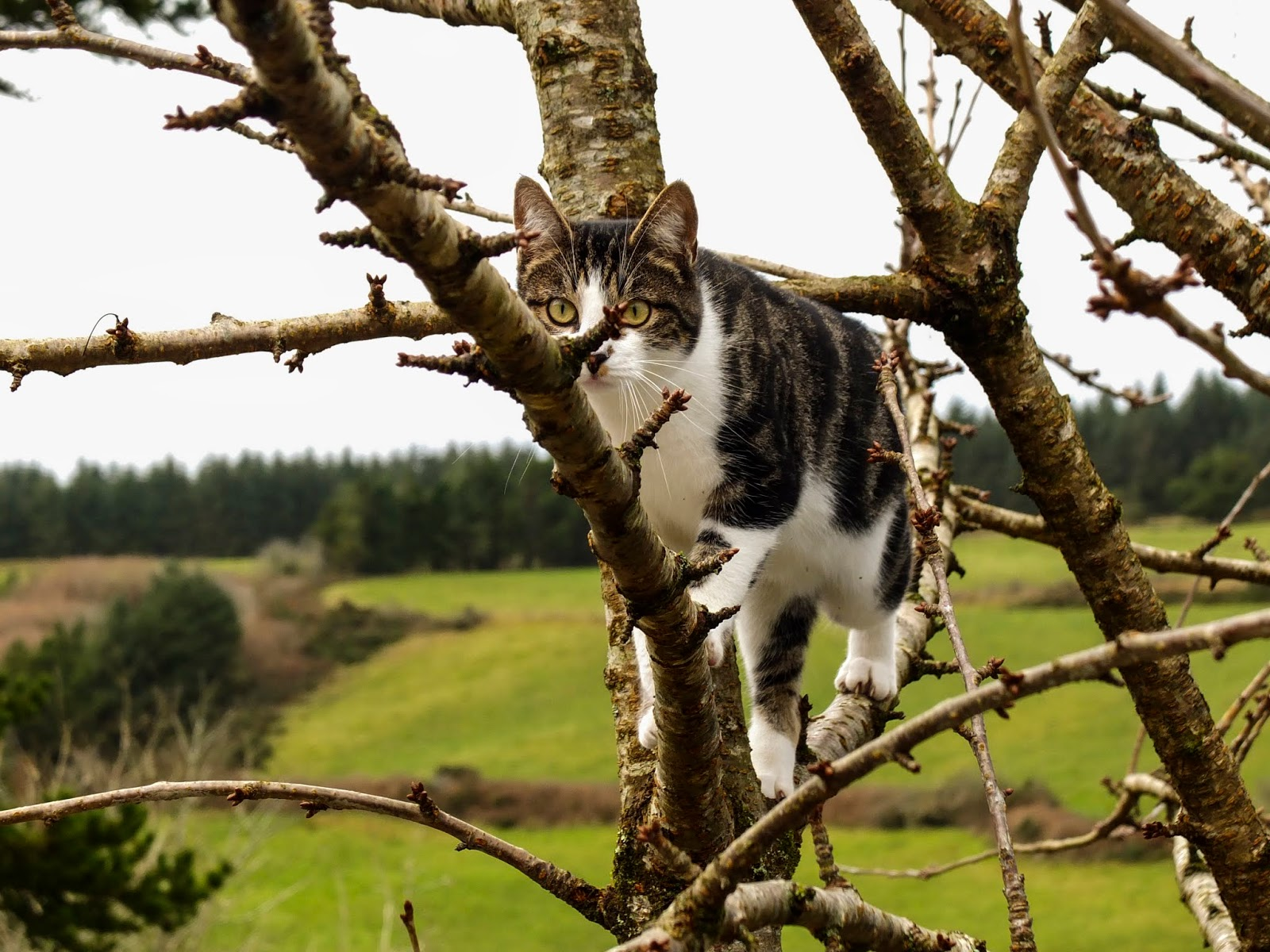 A cat walking along a cherry tree branch.