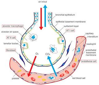 Struktur alveoli