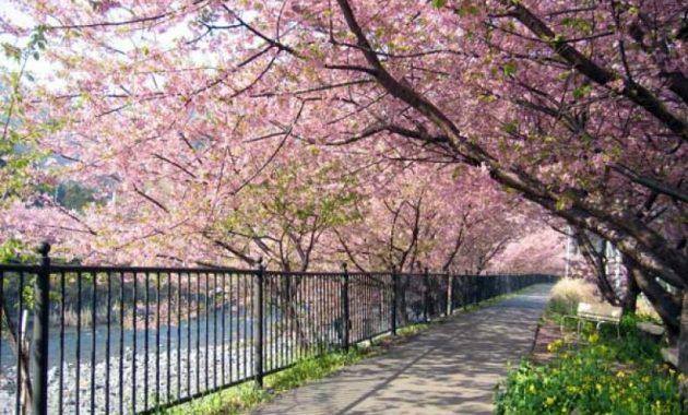 Harga Tiket Masuk Taman Sakura Kebun Raya Cibodas Menikmati