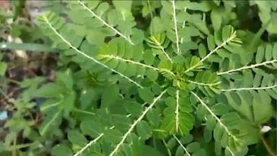 Efek samping daun meniran